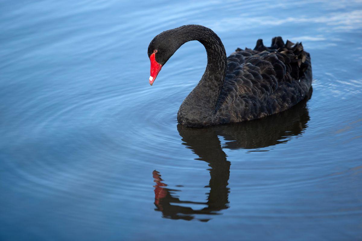 swans selloff economic gravity bblack