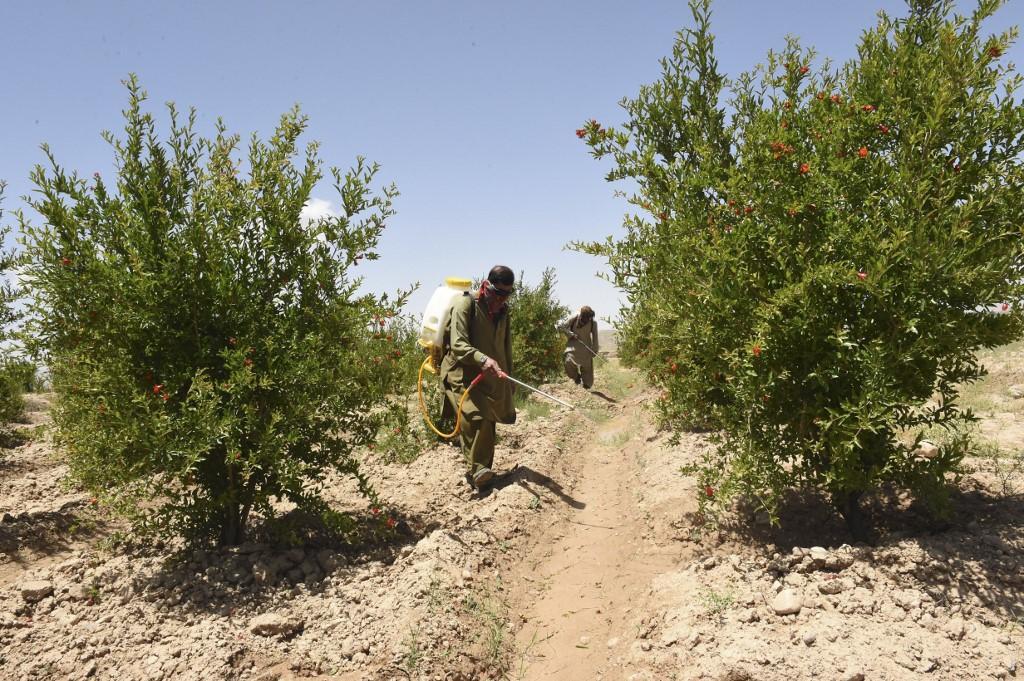 pakistan locust invasion havoc orchards